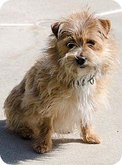 Adopt A Pet :: Cookie (Adoption Pending)  - Renton, WA