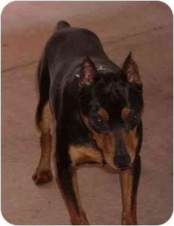 Miniature Pinscher Dog for adoption in Phoenix, Arizona - Chopper