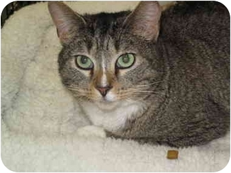 Domestic Shorthair Cat for adoption in Port Republic, Maryland - Jinx