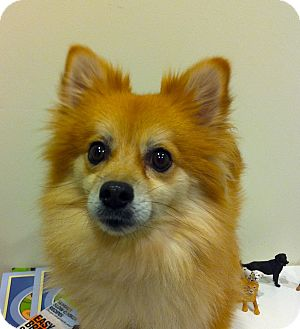 Pomeranian Dog for adoption in Minnetonka, Minnesota - DAISY MAE