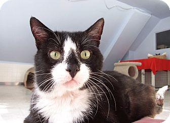 Domestic Shorthair Cat for adoption in Chicago, Illinois - Rumbero