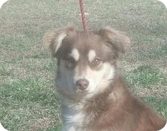 Australian Shepherd Mix Puppy for adoption in Hagerstown, Maryland - Banjo