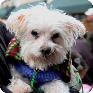 Maltese Mix Dog for adoption in North Wales, Pennsylvania - Matt