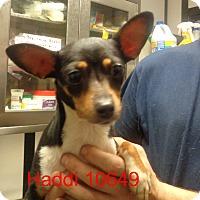 Adopt A Pet :: Haddi - Greencastle, NC