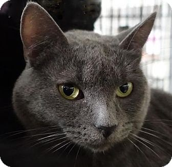 Domestic Shorthair Cat for adoption in Redwood City, California - Azure