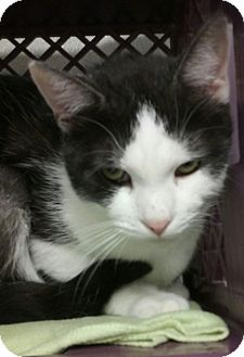 Domestic Shorthair Cat for adoption in Pottsville, Pennsylvania - Kimberly
