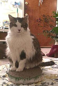 Domestic Mediumhair Cat for adoption in Seal Beach, California - Puff