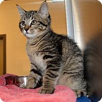Adopt A Pet :: Elf - Dallas, TX