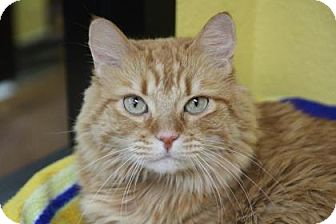 Domestic Mediumhair Cat for adoption in Benbrook, Texas - Izzy