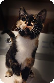 Calico Cat for adoption in Bonner Springs, Kansas - Whoopie