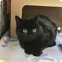 Domestic Shorthair Cat for adoption in East Brunswick, New Jersey - Stella