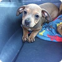 Adopt A Pet :: Aurra Sing - Gainesville, FL