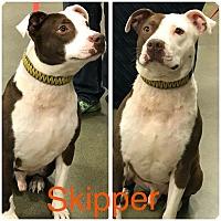 Adopt A Pet :: Skipper - Garden City, MI