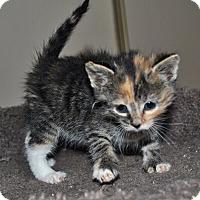 Adopt A Pet :: Tazia - Mississauga, Ontario, ON