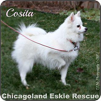 American Eskimo Dog Puppy for adoption in Elmhurst, Illinois - Cosita