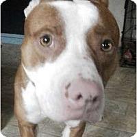 Adopt A Pet :: Scooter - Douglas, MA