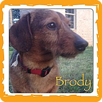 Adopt A Pet :: Brodie - Somers, CT