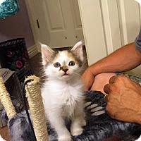 Adopt A Pet :: Sakura - Bentonville, AR