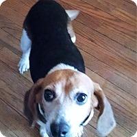 Adopt A Pet :: Petunia - Greensboro, GA