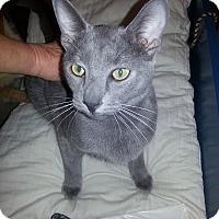Adopt A Pet :: Blu LS - Schertz, TX