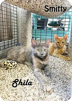 Calico Kitten for adoption in Redwood City, California - Shila and Smitty