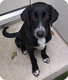 Labrador Retriever/Pointer Mix Puppy for adoption in Brattleboro, Vermont - Charlotte