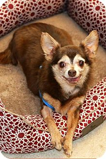 Chihuahua Dog for adoption in Matthews, North Carolina - Dixie