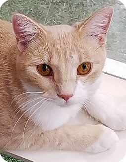 Domestic Shorthair Cat for adoption in St. Louis, Missouri - Pinky Tuscadero