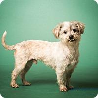 Adopt A Pet :: Barnsley  - MEET ME - Norwalk, CT