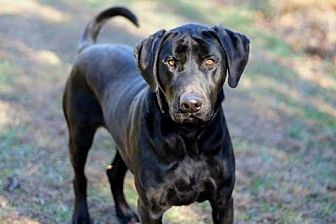 Labrador Retriever Mix Dog for adoption in Norfolk, Virginia - MAJOR
