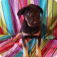 German Shepherd Dog/Labrador Retriever Mix Puppy for adoption in Houston, Texas - Silk