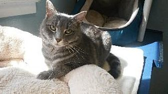 Domestic Shorthair Cat for adoption in Queenstown, Maryland - Julia