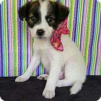 Adopt A Pet :: Grace - Pluckemin, NJ