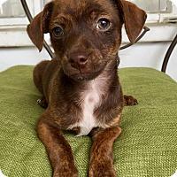 Adopt A Pet :: Duffy (BH) - Santa Ana, CA