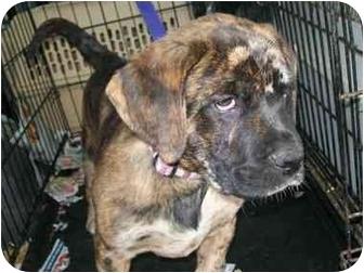 Mastiff/Catahoula Leopard Dog Mix Puppy for adoption in Harrisburgh, Pennsylvania - Whitman