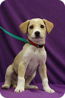 Labrador Retriever/Retriever (Unknown Type) Mix Puppy for adoption in Broomfield, Colorado - White Sox