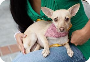 Chihuahua Mix Dog for adoption in Las Vegas, Nevada - Pixie