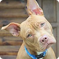 Adopt A Pet :: Cherry - Reisterstown, MD