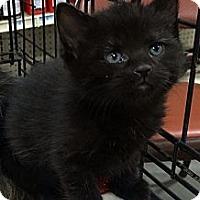 Adopt A Pet :: Little Bear - Harrisburg, NC