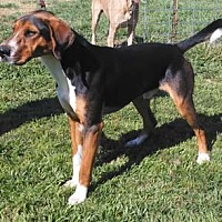 Treeing Walker Coonhound Dog for adoption in Seguin, Texas - Hank