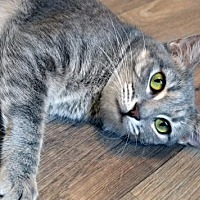 Domestic Shorthair Cat for adoption in Johnson City, Tennessee - Jazzy