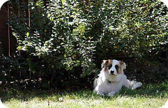 St. Bernard/Border Collie Mix Dog for adoption in Denver, Colorado - Mona