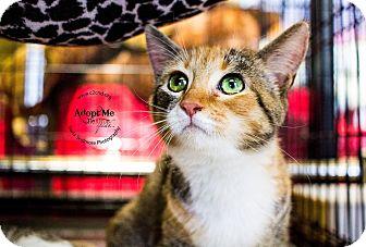 Domestic Shorthair Kitten for adoption in Charlotte, North Carolina - A..  Erika