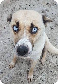 German Shepherd Dog Mix Dog for adoption in Winnipeg, Manitoba - PUMPKIN