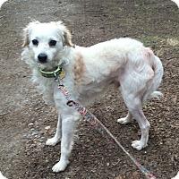 Adopt A Pet :: Iggy - Oak Ridge, NJ