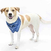 Ibizan Hound Dog for adoption in Orlando, Florida - *REESES