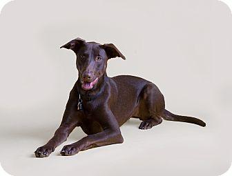 Doberman Pinscher/Labrador Retriever Mix Dog for adoption in Dallas, Texas - Lady