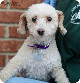 Poodle (Miniature) Dog for adoption in Howell, Michigan - Annie