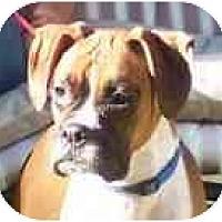 Adopt A Pet :: Foxy - Sunderland, MA