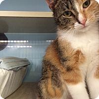 Adopt A Pet :: Noel - New York, NY